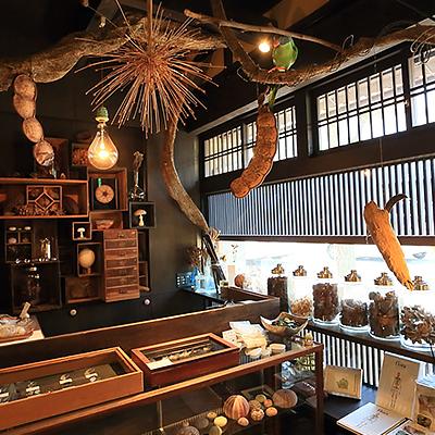 店内ディスプレイ : 店内に這わせたフジヅルから、様々な植物標本を吊り下げています。